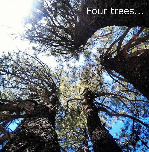 Four Trees from the Same Root