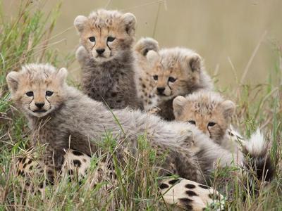 African Cat stars